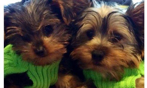 yorkie dogs